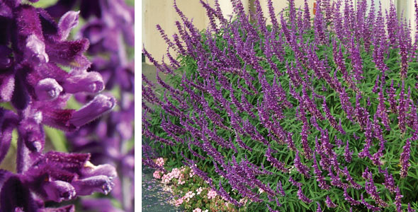 Plants management australia salvia 39 santa barbara 39 for Low maintenance summer flowers