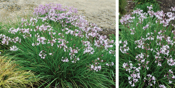 Plants management australia tulbaghia 39 milky way 39 for Very low maintenance plants