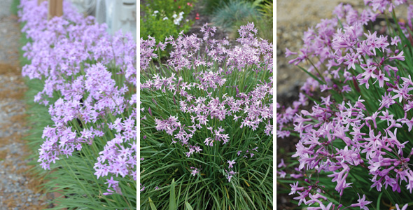 Plants management australia tulbaghia 39 dark star 39 for Hardy low maintenance shrubs