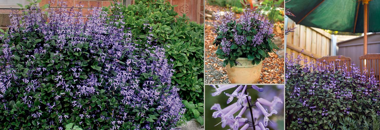 plants management australia mona lavender plectranthus 39 plepalila 39. Black Bedroom Furniture Sets. Home Design Ideas
