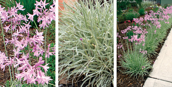 Plants management australia tulbaghia 39 silver lace 39 for Low maintenance border shrubs